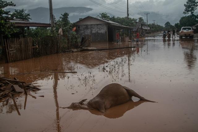 Gia súc chết hàng loạt sau trận lụt. (Ảnh: New York Times)