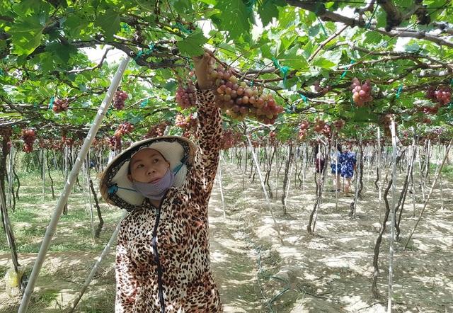 Ghé thăm vườn nho nức tiếng, hút khách ở Ninh Thuận - 3