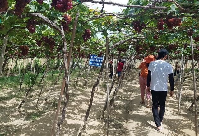 Du khách háo hức vào tham quan vườn nho Ba Mọi, Ninh Thuận