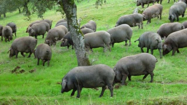 Lợn đen được chăn thả tự nhiên dưới gốc cây sồi