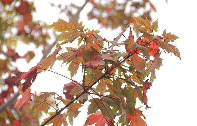 Số lượng cây phong chuyển màu lá đỏ chưa nhiều. Dù sao, đây cũng là tín hiệu vui cho những ai yêu quý loài cây này.