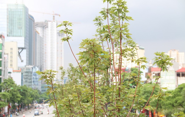 Hàng phong lá đỏ tại Hà Nội bất ngờ khoe sắc - 11