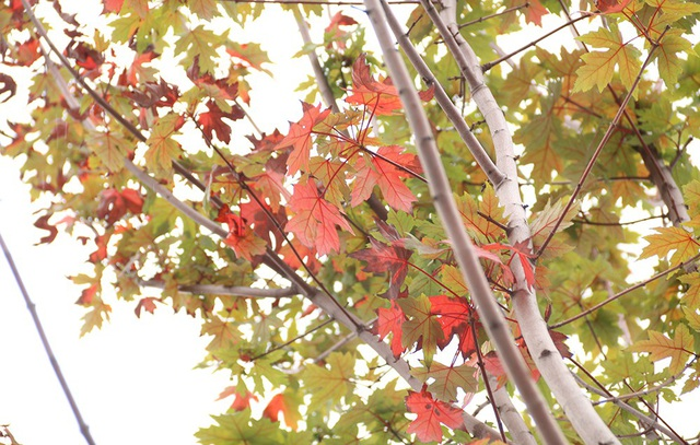 Hàng cây phong lá đỏ được trồng dọc tuyến phố Trần Duy Hưng bắt đầu từ ngã tư giao với đường Nguyễn Chánh đến chân cầu vượt Trần Duy Hưng - Nguyễn Chí Thanh. Ghi nhận của phóng viên vào trưa nay, 30/7, nhiều cây phong trong số này bắt đầu chuyển màu.