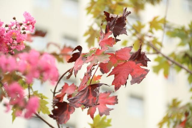 Lá cây phong chuyển từ màu xanh sang màu đỏ sẫm