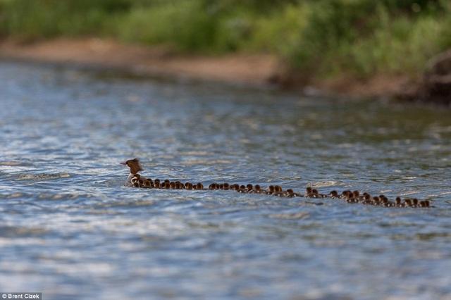 Bức ảnh vịt mẹ và 76 đứa con gây xúc động cộng đồng mạng - 1