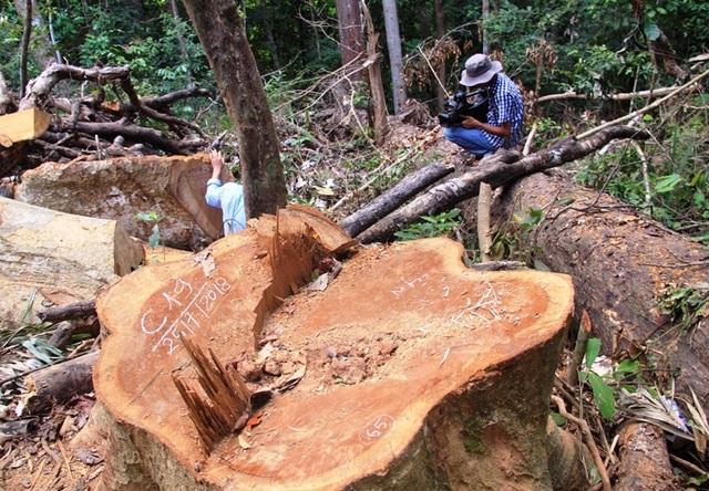 Hiện trường vụ 23 cây dổi lâu năm có cây đường kính hơn 1 mét bị lâm tặc cưa hạ trái phép.