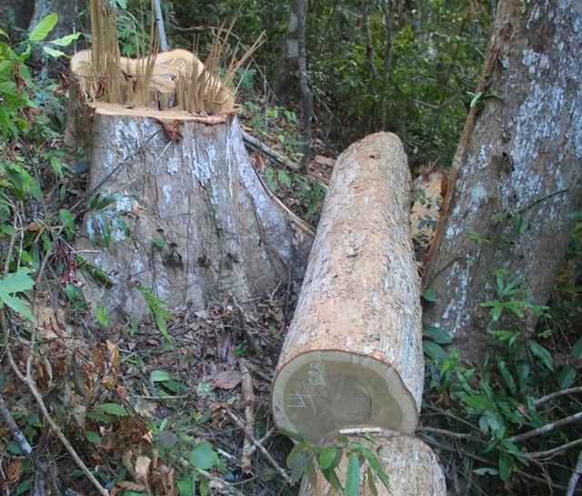 Một vụ phá rừng nghiêm trọng xảy ra trên địa bàn huyện Vĩnh Thạnh, tỉnh Bình Định.