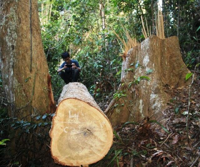 Trước đó, Kiểm lâm huyện Vĩnh Thạnh phát hiện vụ phá 23 cây dổi cổ thụ ở rừng phòng hộ thuộc xã Vĩnh Sơn.