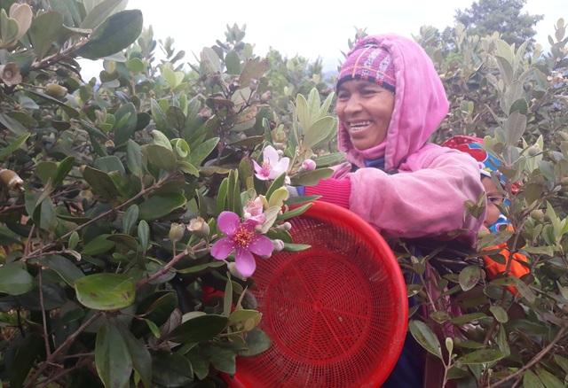 Chị Phạm Thị Nát vui mừng vì đồi sim chi chít trái đã bắt đầu chín rộ