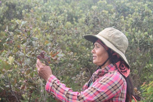 Nhiều phụ nữ vào rừng hái sim mọc hoang cũng kiếm được từ 200 - 250 ngàn đồng mỗi ngày
