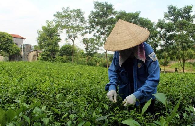Để hái được một cân trà đinh tươi cần 4-5 thợ chuyên nghiệp