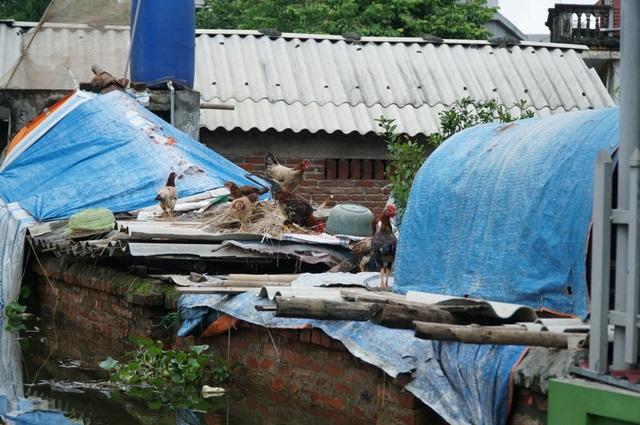 Khắp nơi ngập nước, gia súc, gia cầm phải lên mái nhà trú tạm.