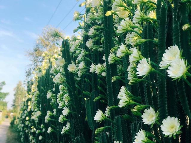 """Hàng hoa xương rồng đẹp như mơ ở Sóc Trăng gây """"sốt"""" mạng - 1"""