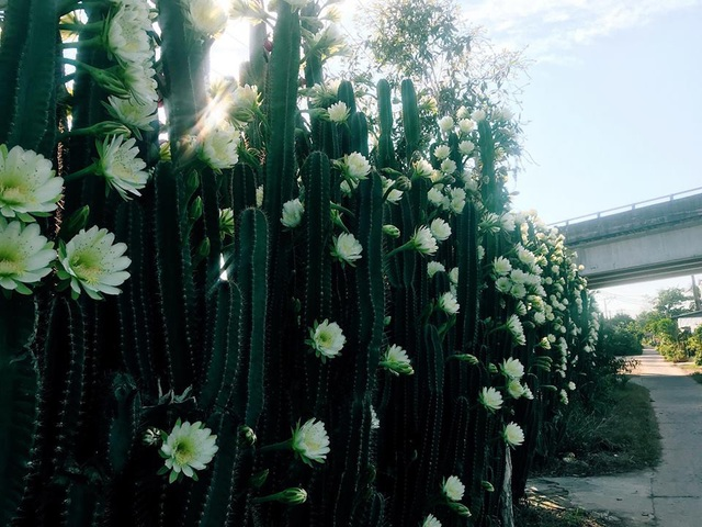 """Hàng hoa xương rồng đẹp như mơ ở Sóc Trăng gây """"sốt"""" mạng - 5"""