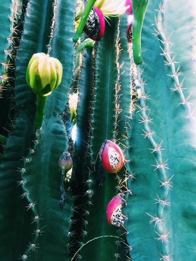 """Hàng hoa xương rồng đẹp như mơ ở Sóc Trăng gây """"sốt"""" mạng - 8"""