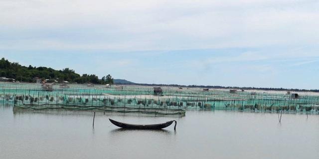 Tận dụng mặt nước đầm Ô Loan, người dân huyện Tuy An (Phú Yên) nuôi vẹm đem lại hiệu quả kinh tế cao