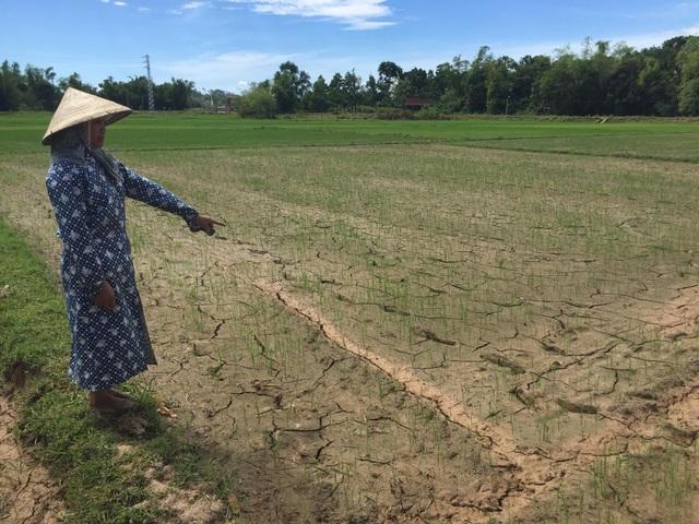 Hàng trăm ha lúa ở Hà Tĩnh đang đặt trong tình trạng thiếu nước trầm trọng. (Ảnh: Xuân Sinh).