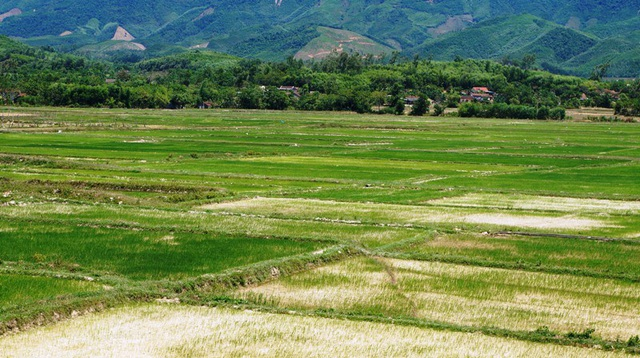 Hàng trăm ha lúa có nguy cơ bị chết cháy vì tình trạng thiếu nước trầm trọng.
