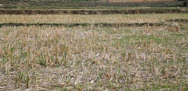 Nhiều diện tích bị bỏ hoang vì thiếu nước sản xuất.