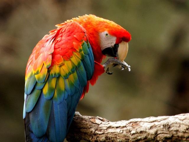 Chim có nhân cầu não rất nhỏ. Thay vào đó, chúng có một cấu trúc tương tự gọi là nhân xoắn trong (SpM) có khả năng kết nối tương tự.