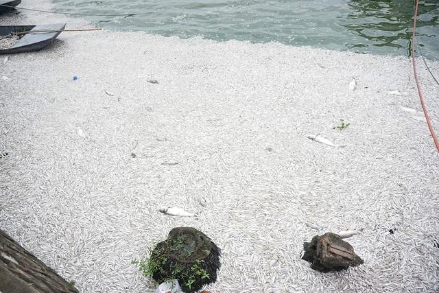 Sáng ngày hôm nay (9/7), hàng chục công nhân đang khẩn trương vớt cá để làm sạch hồ, tuy nhiên do lượng cá chết quá nhiều nên đến thời điểm hiện tại việc vớt cá vẫn chưa xong.
