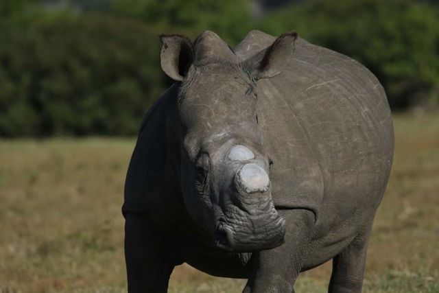 Bella, cá thể tê giác cái bị những kẻ săn trộm giết hại vì 1cm sừng - Ảnh của Ayesha Cantor.