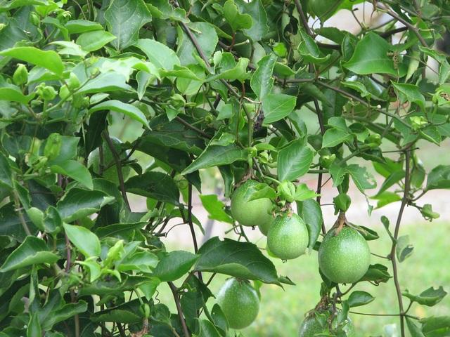 Cây lạc tiên tây - Rất giống với cây chanh leo. Thực chất cây chanh leo không thuộc họ lạc tiên và khi sắc lên uống sẽ không có tác dụng giúp ngủ ngon.