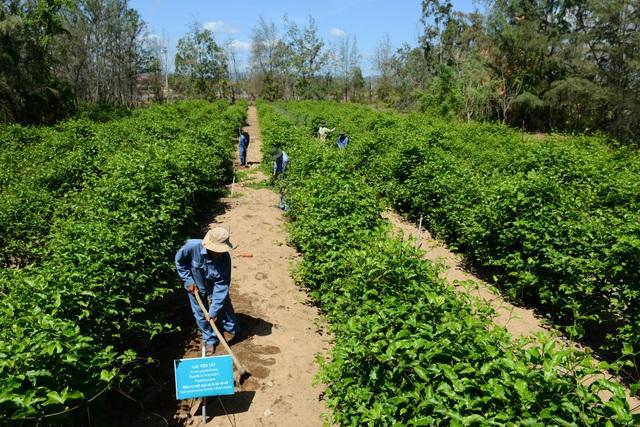 Trung tâm Nghiên cứu & Sản xuất Dược liệu Miền Trung phối hợp với viện dược liệu của Pháp đưa giống cây Lạc tiên tây về Việt Nam và trồng ở Phú Yên. Đây cũng là nơi duy nhất trong nước trồng giống cây Lạc tiên tây này.