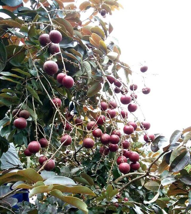 Không chỉ sốt quả nhãn tím, cây giống nhãn tím cũng được nhà vườn Việt và người Thái Lan lùng mua