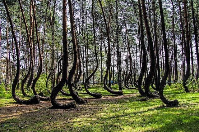 Cả vạt rừng hơn 400 gốc thông đều bị uốn cong đồng nhất, trong khi đó thân cây vẫn thẳng đứng phát triển bình thường