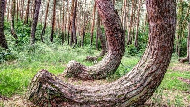 Cận cảnh gốc cây thông uốn cong đặc biệt