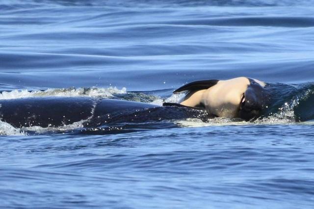 Đây là lần đầu tiên cá voi mang xác con đi xa và lâu như vậy.