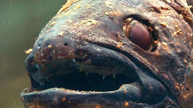Loài cá hóa thạch sống có thân hình gớm ghiếc hầu như không thay đổi trong 400 triệu năm qua.