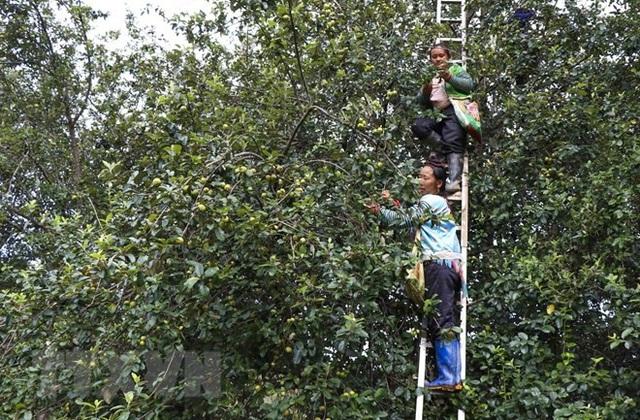 Cùng ngắm mùa táo mèo trên đỉnh đèo Pha Đin - 3