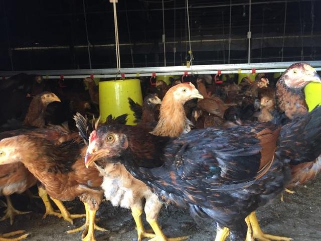 Mỗi đợt anh Cẩn thả nuôi 30.000 con gà, sau 70 ngày đàn gà được xuất bán mang về 250 triệu đồng tiền lãi