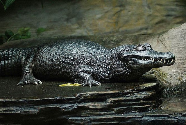 'Tận mục' 10 loài bò sát có trọng lượng lớn nhất thế giới - 3