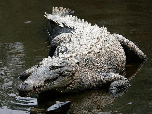 'Tận mục' 10 loài bò sát có trọng lượng lớn nhất thế giới - 5