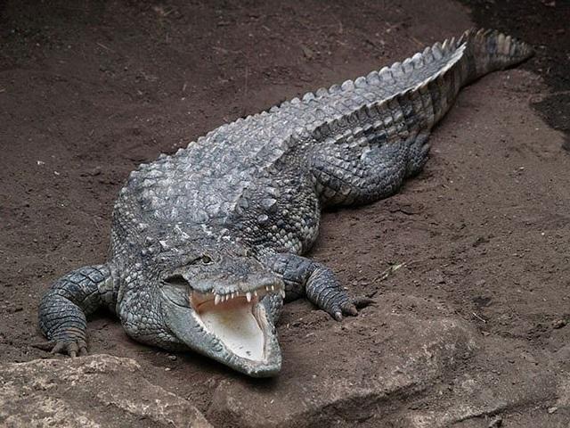 'Tận mục' 10 loài bò sát có trọng lượng lớn nhất thế giới - 9