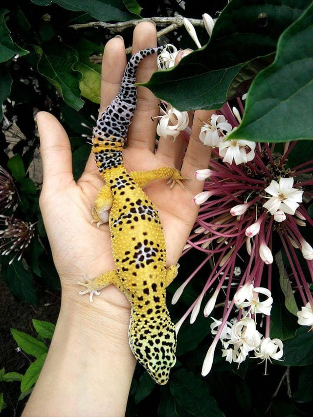 Chú thằn lằn da báo (leopard gecko) xinh đẹp và dễ nuôi