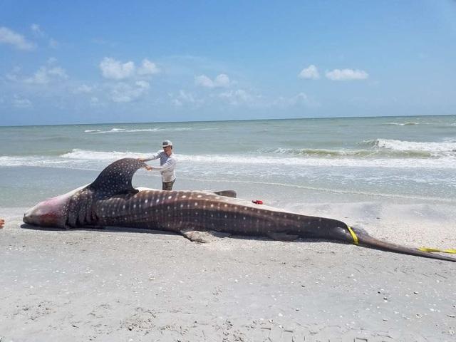 Chưa xác định được nguyên nhân tử vong của con cá mập voi này - Ảnh từ FWC