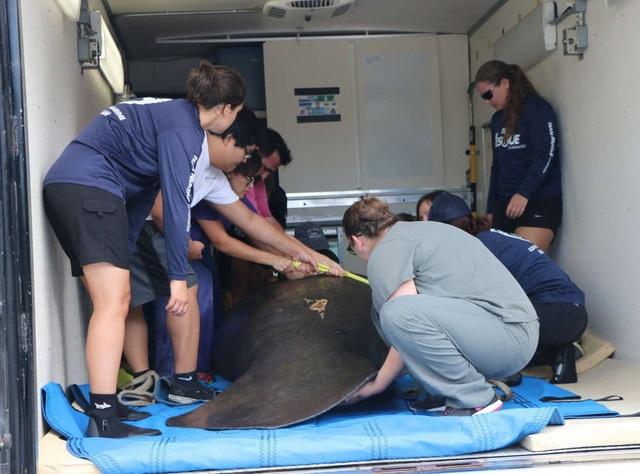 FWC đưa một con lợn biển cái lớn tới SeaWorld để hồi phục - Ảnh từ FWC.