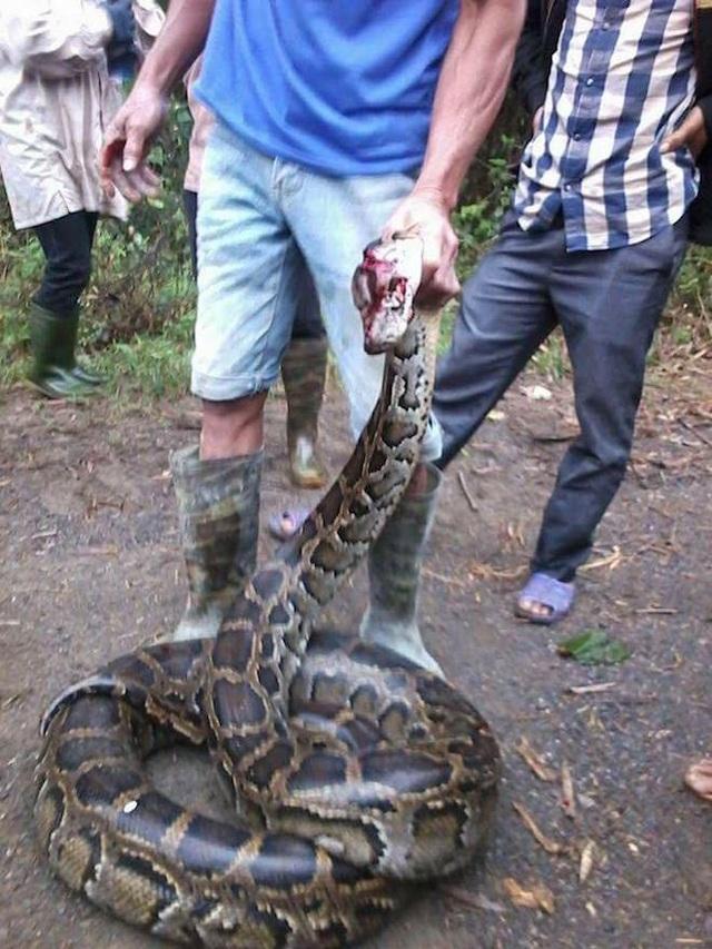 Con trăn thứ 2 người dân bắt được nặng khoảng 20kg.