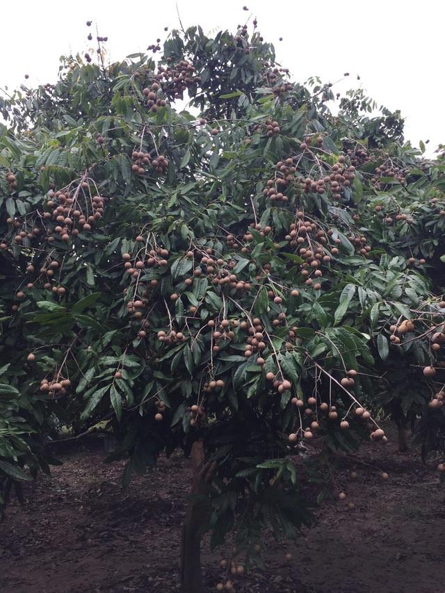 Ở nhiều vùng nhãn Hưng Yên được mùa gấp đôi năm ngoái