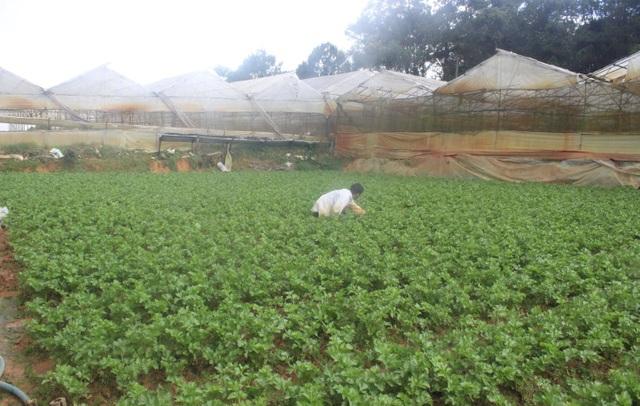 Nhiều loại rau chủ lực của Đà Lạt giá giảm mạnh khiến nông dân không mấy mặn mà với việc thu hoạch
