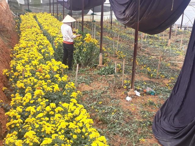 Công nhân đang thu hoạch hoa cúc tại làng hoa Thái Phiên, Đà Lạt