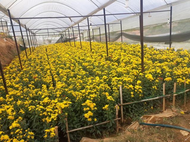 Giá hoa cúc tăng cao và giữ vững suốt nhiều ngày qua khiến cho người trồng hoa phấn khởi