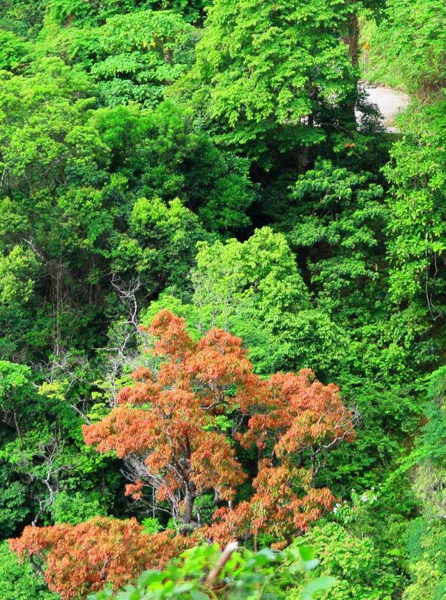Một cây lá đỏ đang khoe sắc giữa rừng xanh