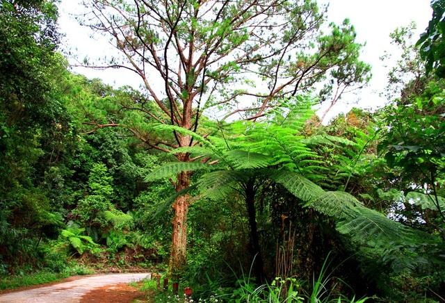 Nhiều cây dương xỉ cao lớn