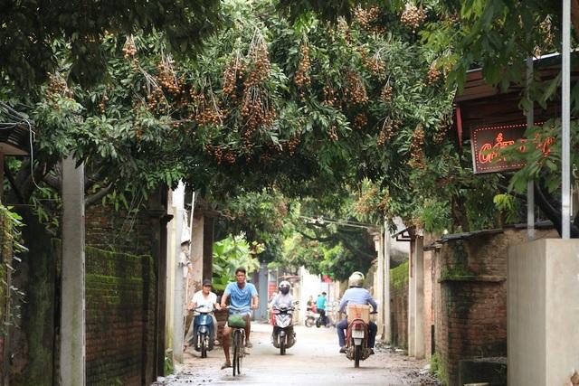 Trên đường làng của xã Đại Thành đâu đâu cũng thấy nhãn, khoảng 2/9 mới bắt đầu chín. Tuy nhiên, theo người dân ở đây, năm nay nhãn được mùa nên có thể không được giá cao bằng những năm trước.