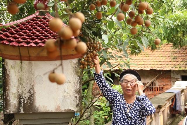 Bà Cước, mẹ đẻ anh Thành, kể: Từ khi về làm dâu trong nhà tôi đã thấy có cây nhãn, quả ăn ngon lắm, đến mùa toàn thấy người đến đặt trước nên khi nhãn chín cũng không có để bán ra ngoài.